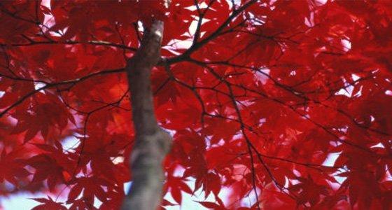 Close View of Red Maple Leaves di Al Petteway, particolare